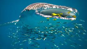 Sal-Salis_Ningaloo-Reef_Whale-Shark.jpg